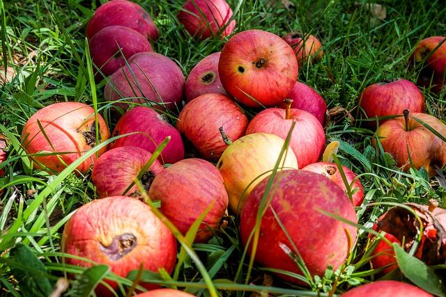 תפוחים רקובים